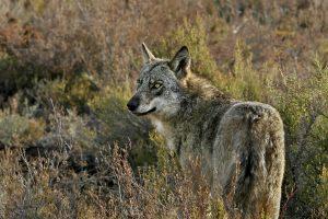 Situación del lobo en España, con Blanca Berzosa #47